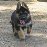 Long Haired German Shepherds 5