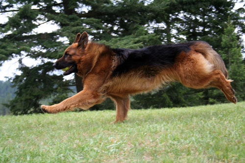 Cardinal, Long Haired German Shepherd