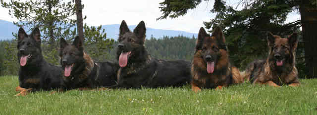 640Our-Longhaired-Shepherds