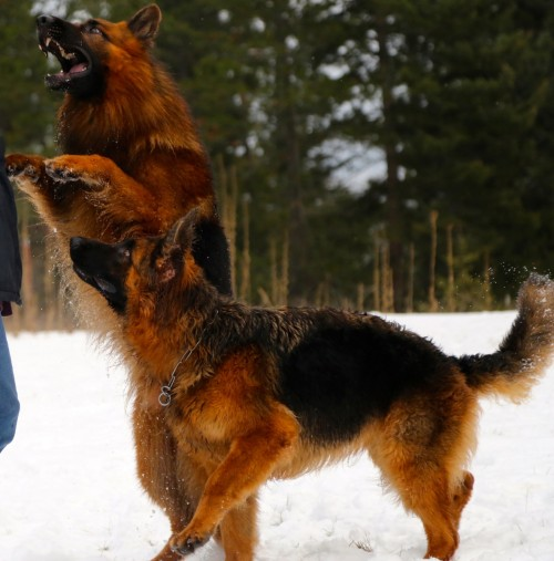 Cardinal and Elsa, Long Haired German Shepherds