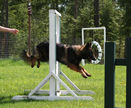 Chinook-Agility-jump(9)