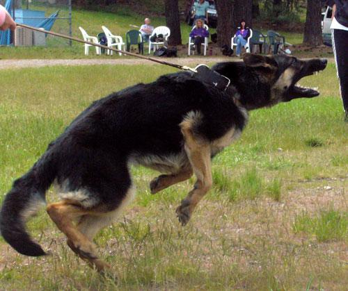 Fury2schutzhund5.10.2008