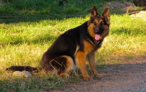long haired German Shepherd