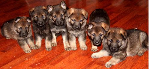 Puppy line up