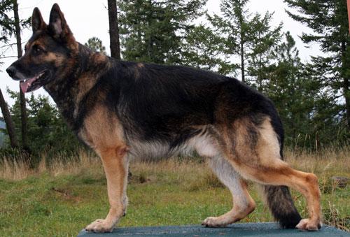 German Shepherd, Jake