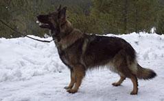 Tag, Long Haired German Shepherd