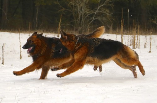 Long Coated German Shepherds
