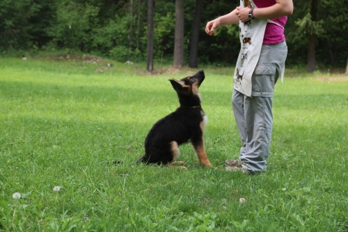Noble comes-sit training