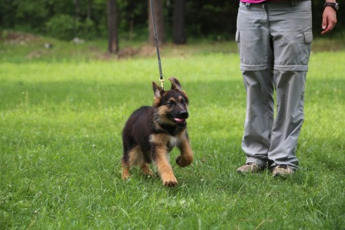 Noble leash training