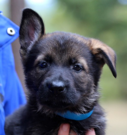 German Shepherd Puppies2C0A0596