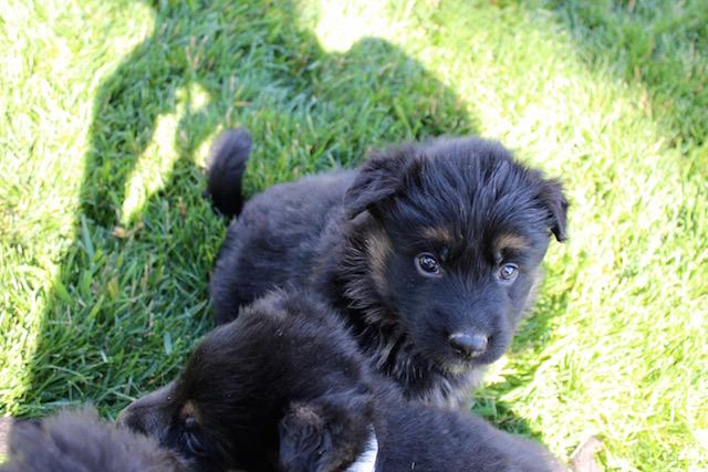 Keeper Brink pups 7 8 16 00002