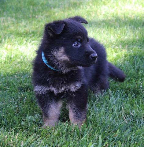 Keeper Brink pups 7 8 16 00006
