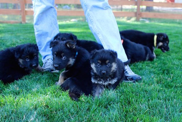 Keeper Brink pups 7 8 16 00009