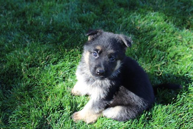 Keeper Brink pups 7 8 16 00010