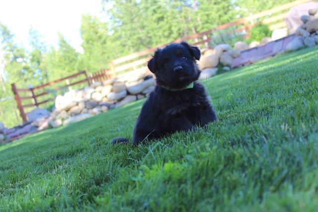 Keeper Brink pups 7 8 16 00014