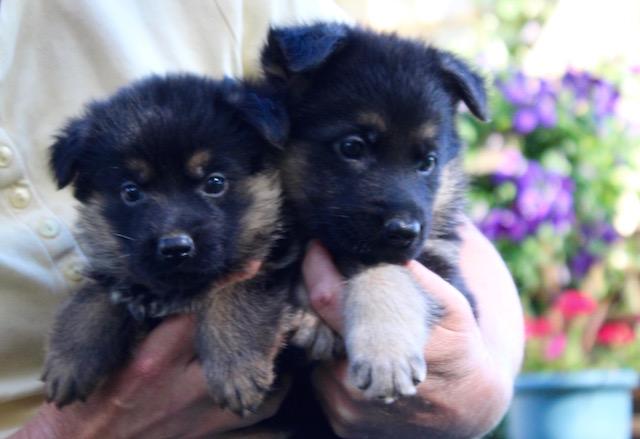 Keeper Brink pups 7 8 16 00015
