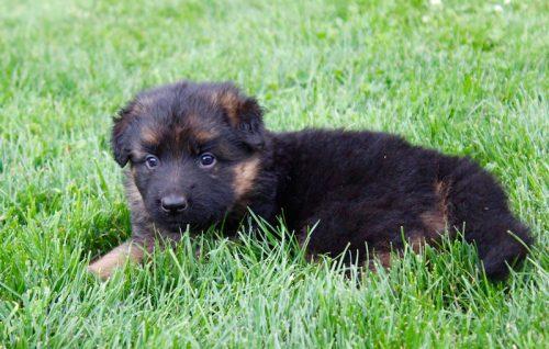 Elsa puppies 8 13 16 00004