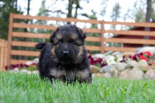 Elsa puppies 8 13 16 00005