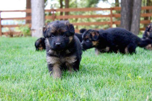 Elsa puppies 8 13 16 00006