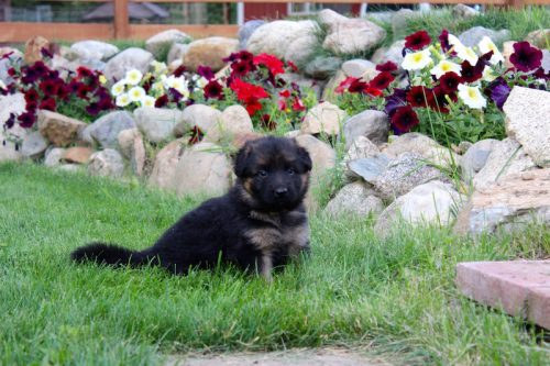 Elsa puppies 8 13 16 00008
