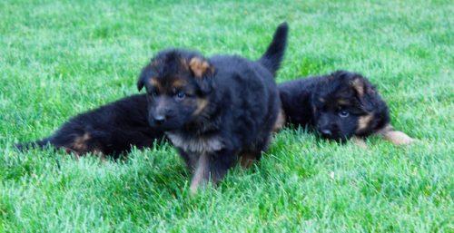 Elsa puppies 8 13 16 00009