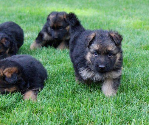Elsa puppies 8 13 16 00010