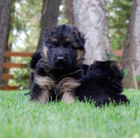Elsa puppies 8 13 16 00011