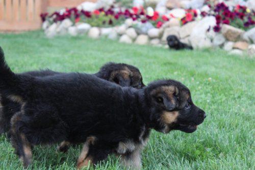Elsa puppies 8 13 16 00012