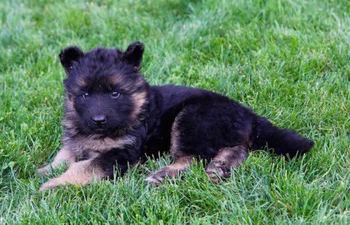 Elsa puppies 8 13 16 00013