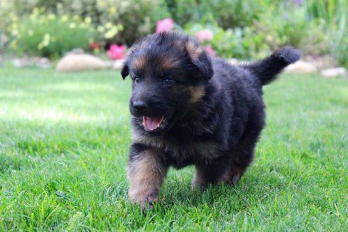 Elsa puppies 8 13 16 00015