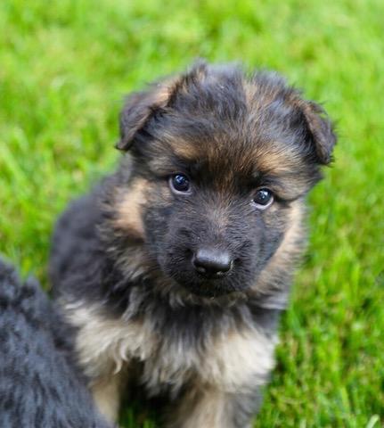 Elsa puppies 8 13 16 00018