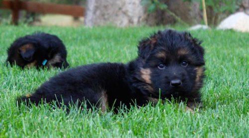 Elsa puppies 8 13 16 00019