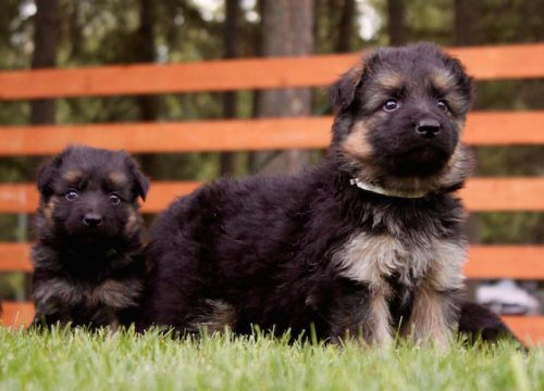 Elsa puppies 8 13 16 00020