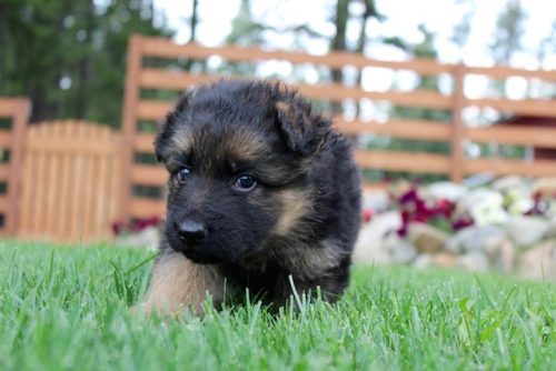 Elsa puppies 8 13 16 00021