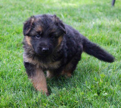 Elsa puppies 8 13 16 00023