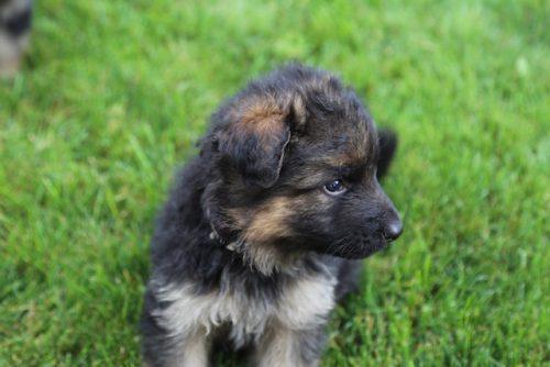 Elsa puppies 8 13 16 00025