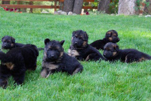 Elsa puppies 8 13 16 00026