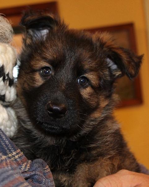 decker-puppy