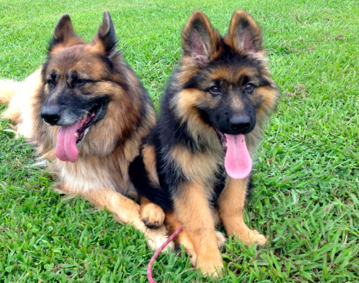 cheap german shepherd puppies cheap cialis next day shipping generic pills online 4972